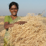 Chickpea harvest, India