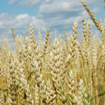 Wheat in the field in Kazakhstan