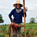 Cassava: Subsistence Crop or Trendy Commodity?