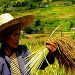 Improved modeling of rice under environmental stresses