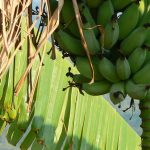 CGIAR centres and research programmes combine forces to reduce the damage of banana disease in Uganda